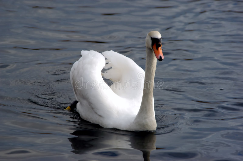 Download Cygne sur le lac photo stock. Image du fleuve, facture, laid - 63468