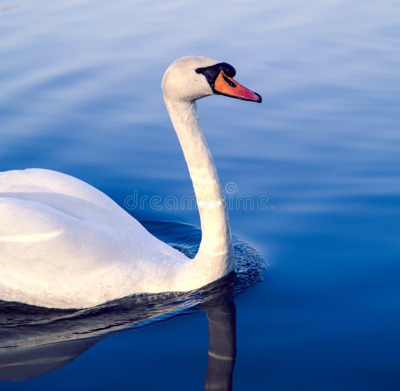Cygne sur un lac bleu photographie stock libre de droits