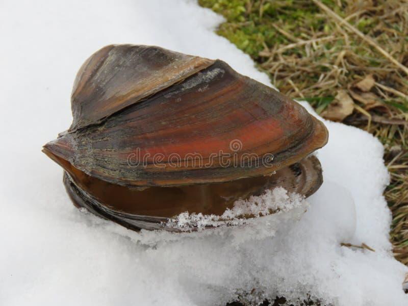 Cygnea d'anodonta de palourde sur la neige photos libres de droits