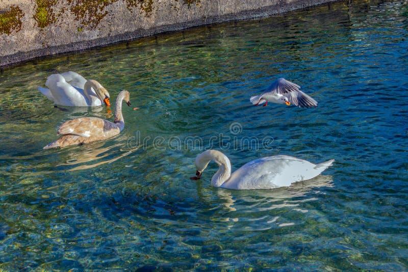 Cygnes affamés sur un lac en Autriche image libre de droits