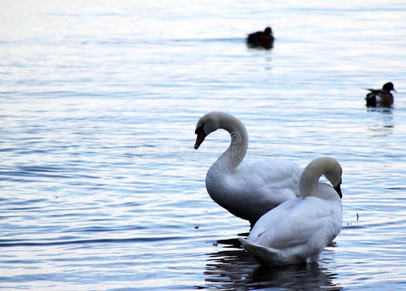 Cygnes au lever de soleil, port de Fulford, île de ressort de sel images libres de droits