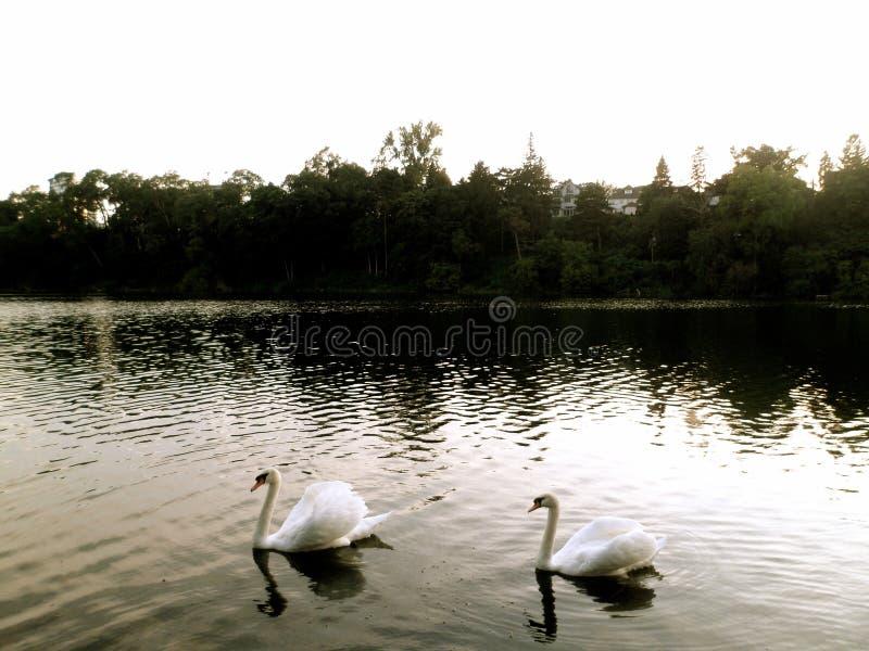 Cygnes blancs images stock