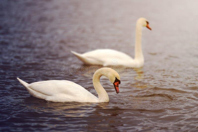 Cygnes blancs sur l'eau image libre de droits