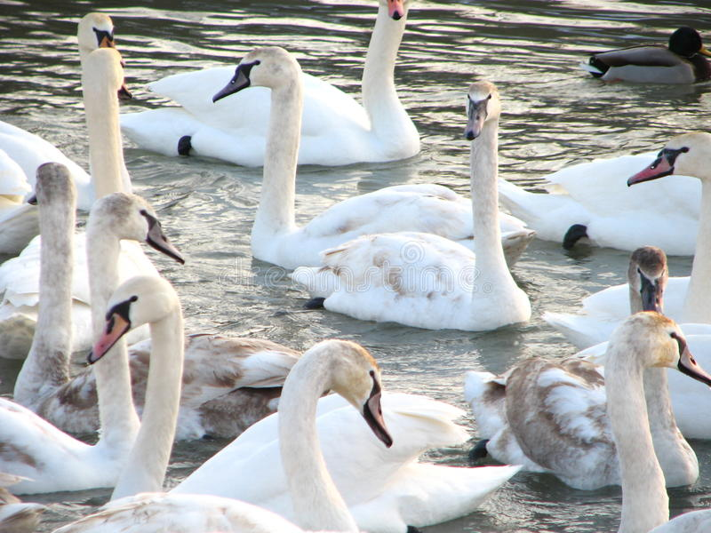 Cygnes blancs sur l'eau photo stock