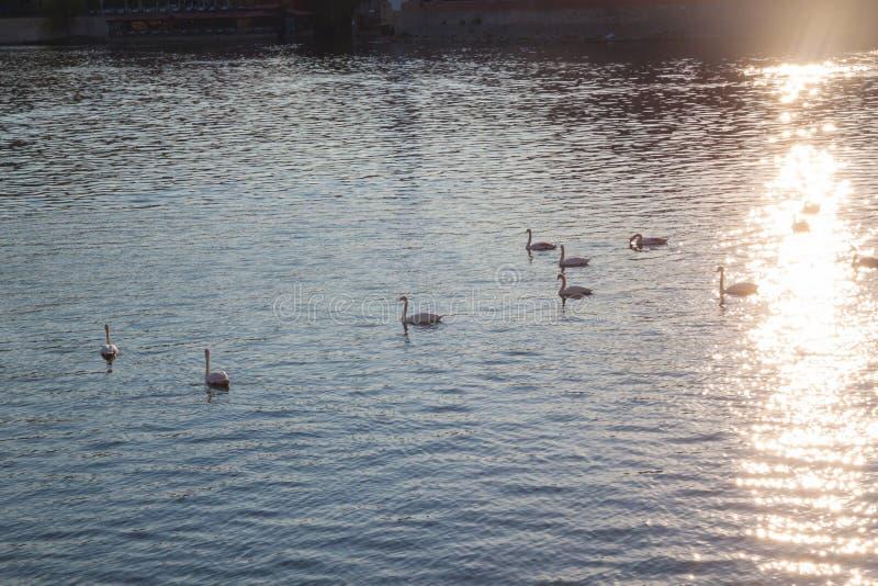 Cygnes blancs sur l'eau au coucher du soleil images stock