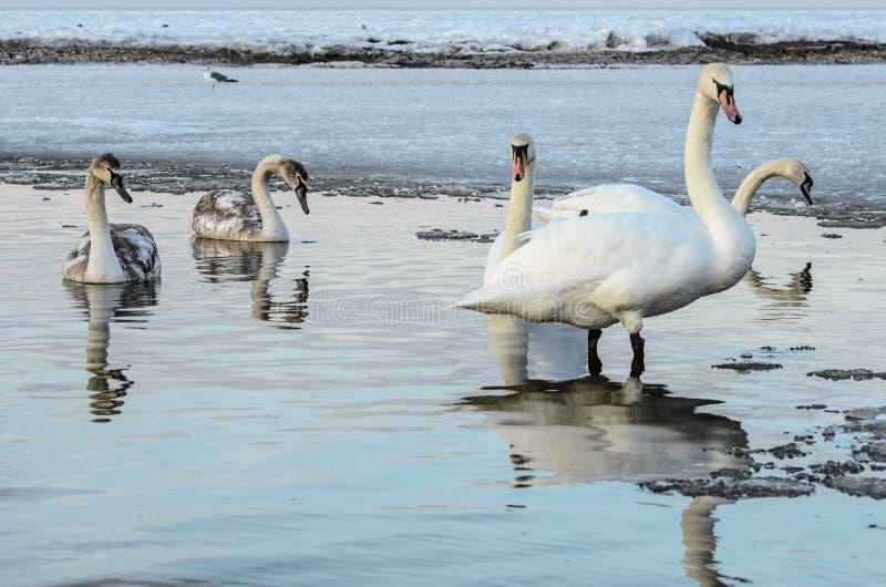 Cygnes blancs sur la côte congelée de la mer baltique, Lettonie, Jurmala photographie stock