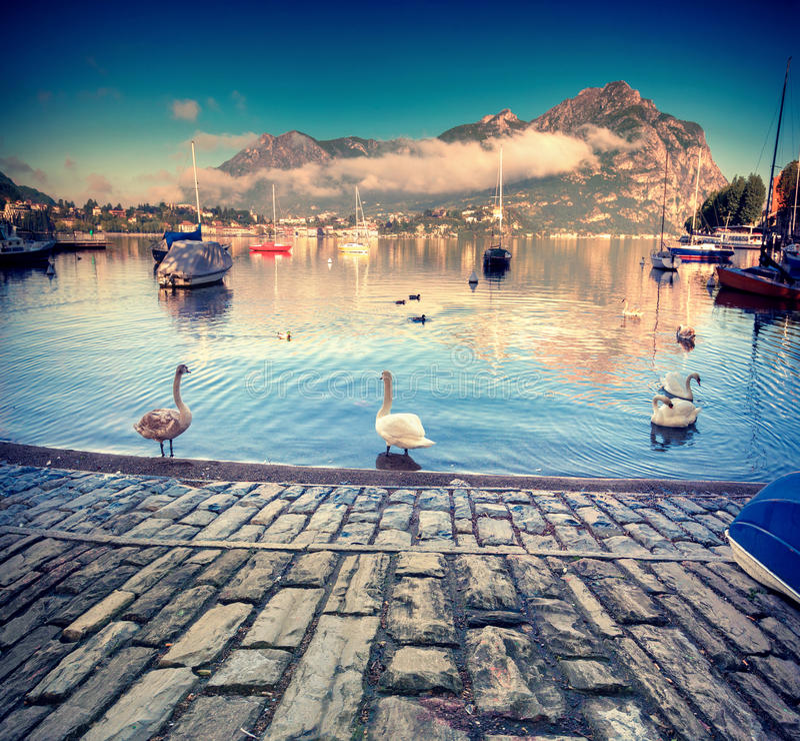 Cygnes blancs sur le lac Lecco, Alpes italiens, Lombardie, Italie photographie stock