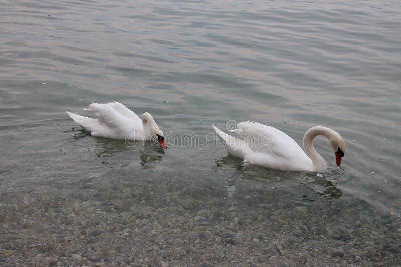 Cygnes blancs sur le policier Italie de lac images libres de droits