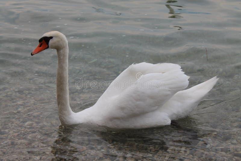 Cygnes blancs sur le policier Italie de lac photo stock