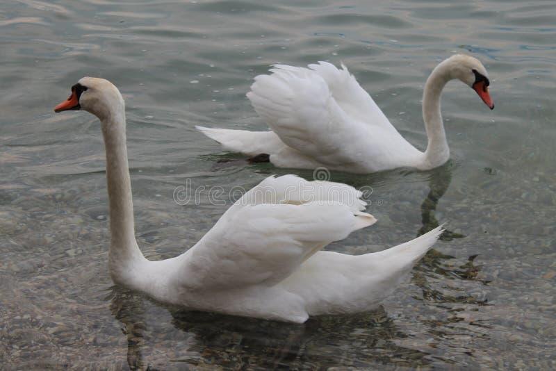 Cygnes blancs sur le policier Italie de lac image libre de droits