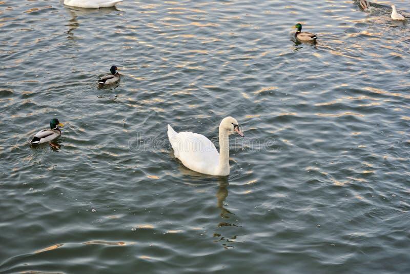 Cygnes, canards et mouettes sur la rivière image libre de droits