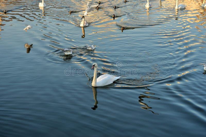 Cygnes, canards et mouettes sur la rivière images stock