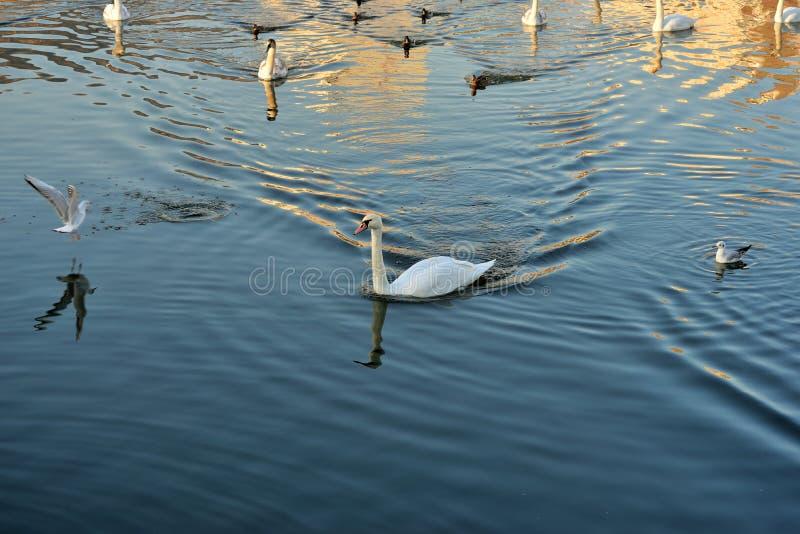 Cygnes, canards et mouettes sur la rivière photos stock