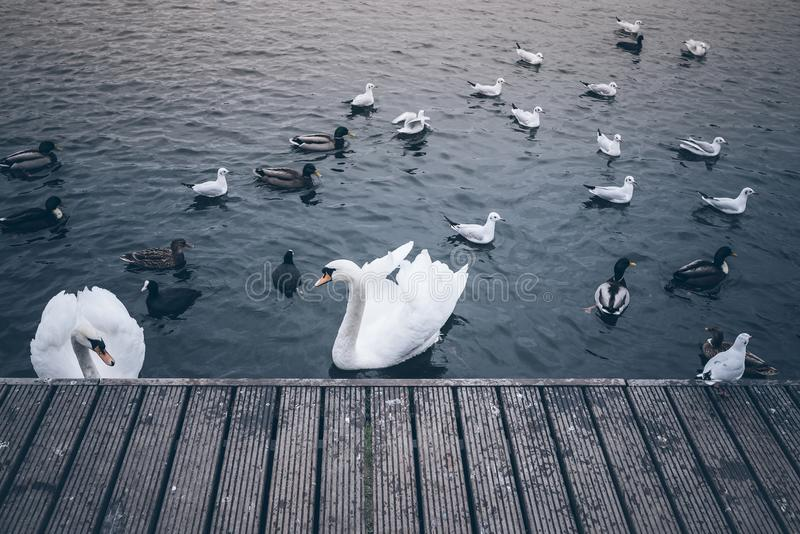 Cygnes, canards et mouettes sur le lac images libres de droits