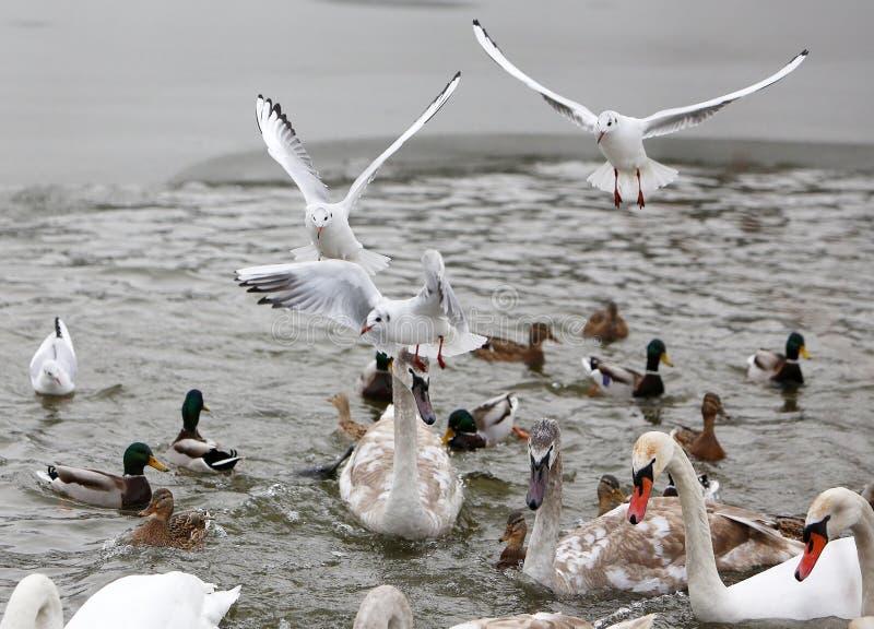 Cygnes, canards et mouettes sur le lac congelé images libres de droits
