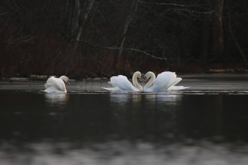 Cygnes d'hiver nageant sur un lac photographie stock