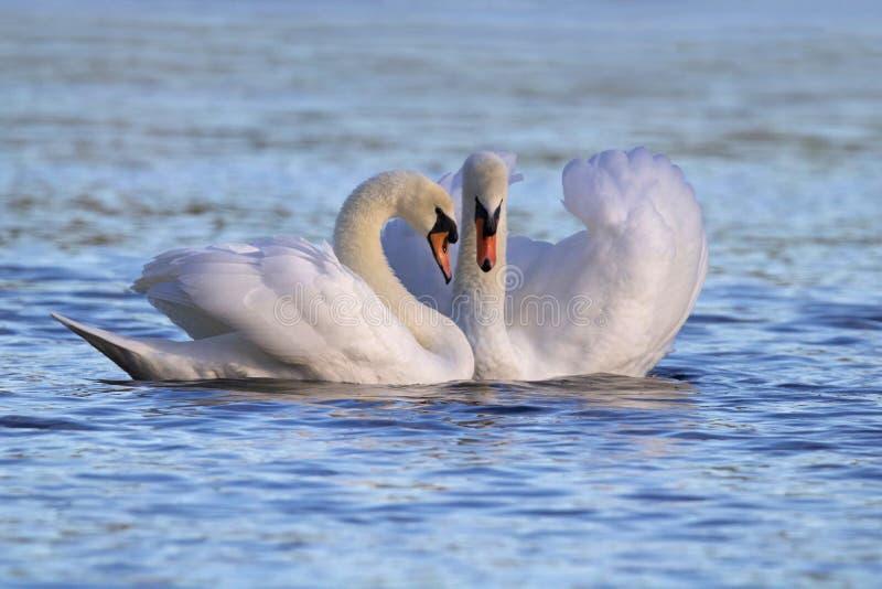 Cygnes dans l'amour photo libre de droits
