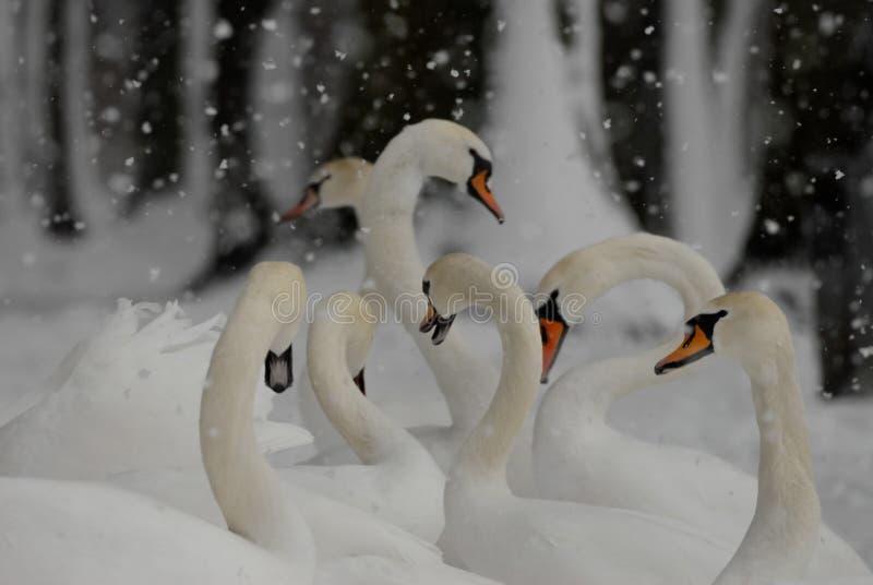 Cygnes dans la neige en hiver tout en neigeant images libres de droits