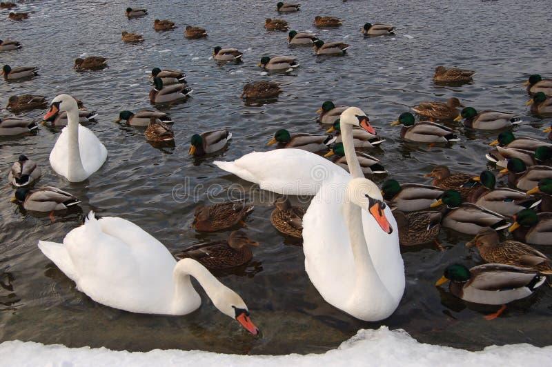 Cygnes dans winter1 image libre de droits