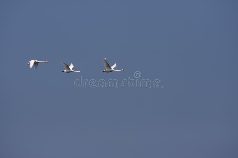 cygnes de ciel photos libres de droits