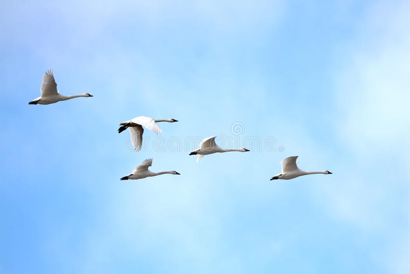 Cygnes de toundra (columbianus de Cygnus) émigrant au printemps image libre de droits