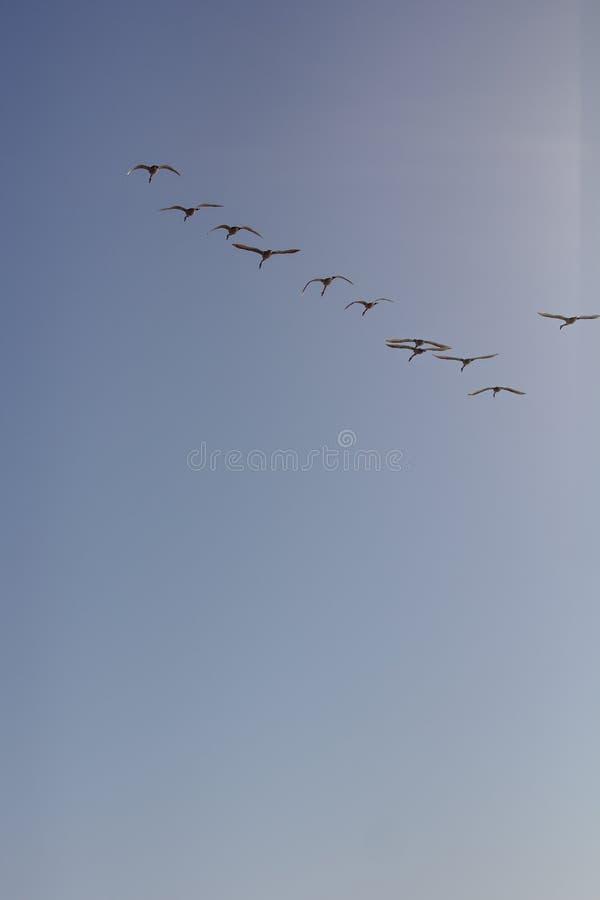 Cygnes de toundra en vol photo libre de droits
