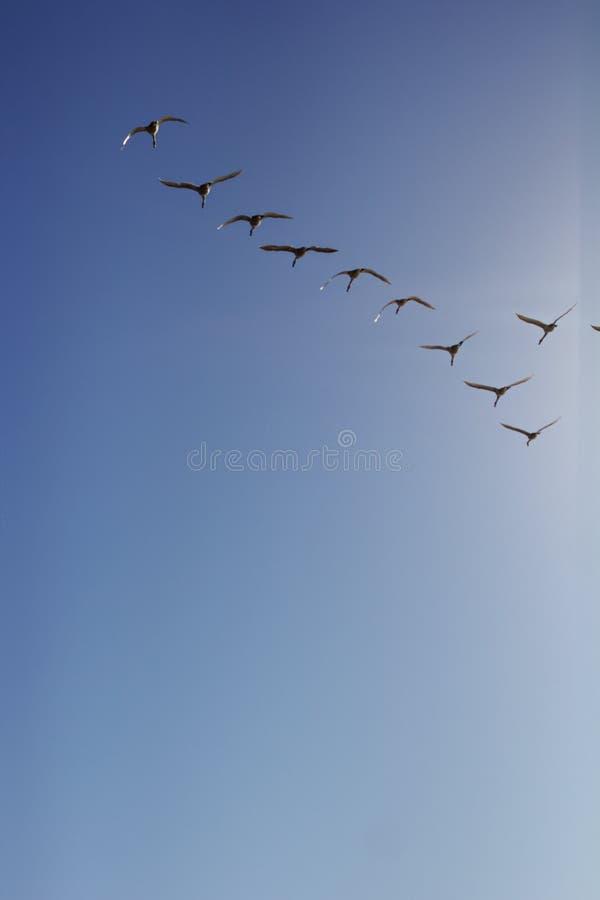 Cygnes de toundra en vol images libres de droits