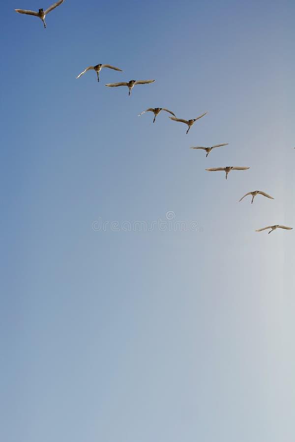 Cygnes de toundra en vol photos stock