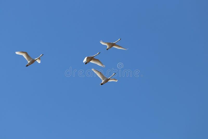 Cygnes de toundra en vol image libre de droits
