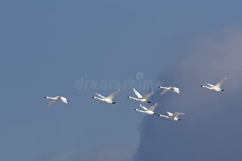 Cygnes de toundra volant dans la formation photos libres de droits