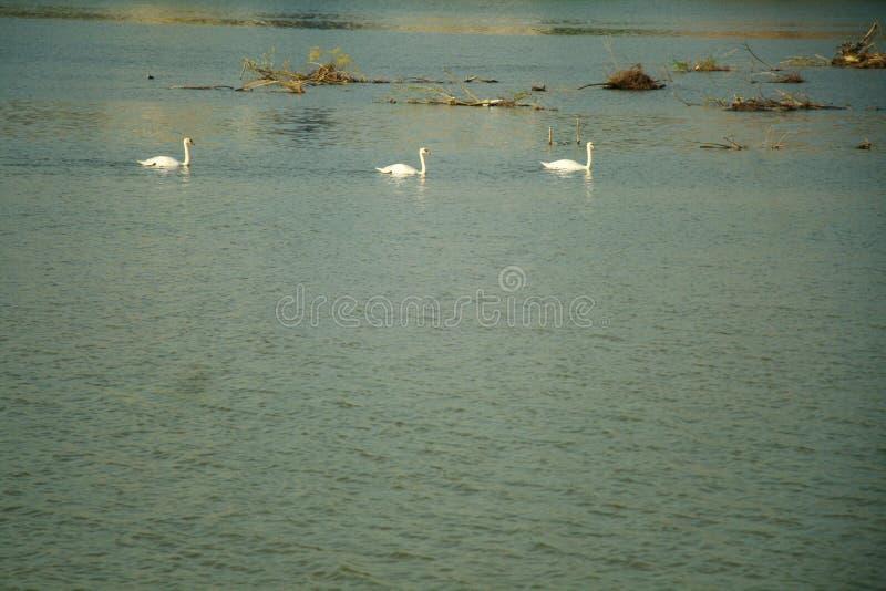 Cygnes en rivière photographie stock libre de droits