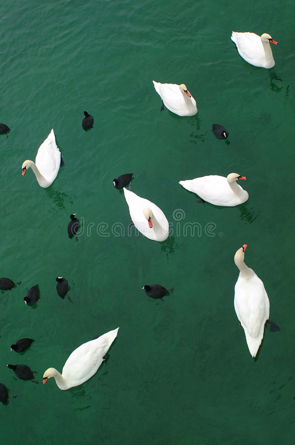 Cygnes et canards images stock