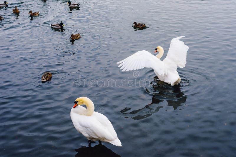 Cygnes et canards sur le lac photos libres de droits
