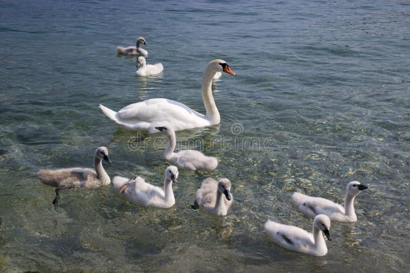 Cygnes et enfants adultes de cygne sur le lac Lago di Garda, Italie, famille d'oiseau heureuse photo libre de droits