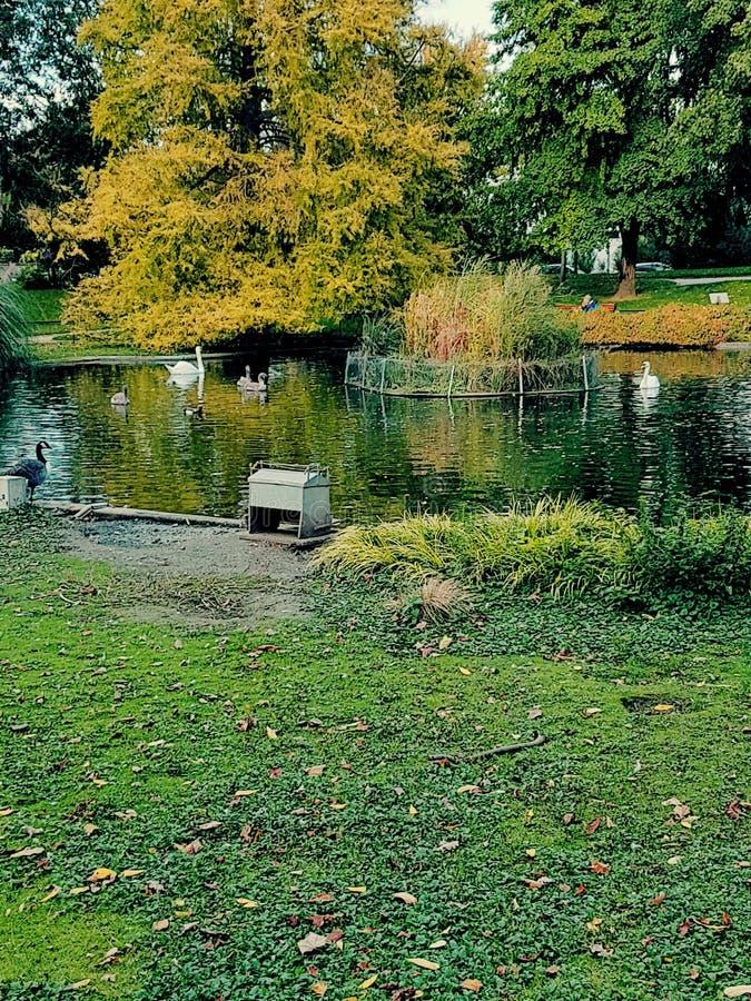 Cygnes Le lac des stockfotos