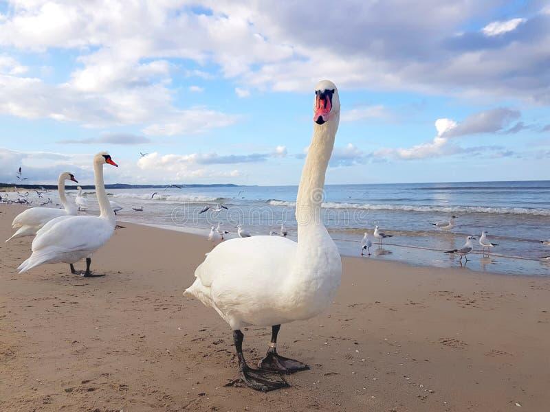 Cygnes, mouette et oiseaux traînant par la plage photographie stock