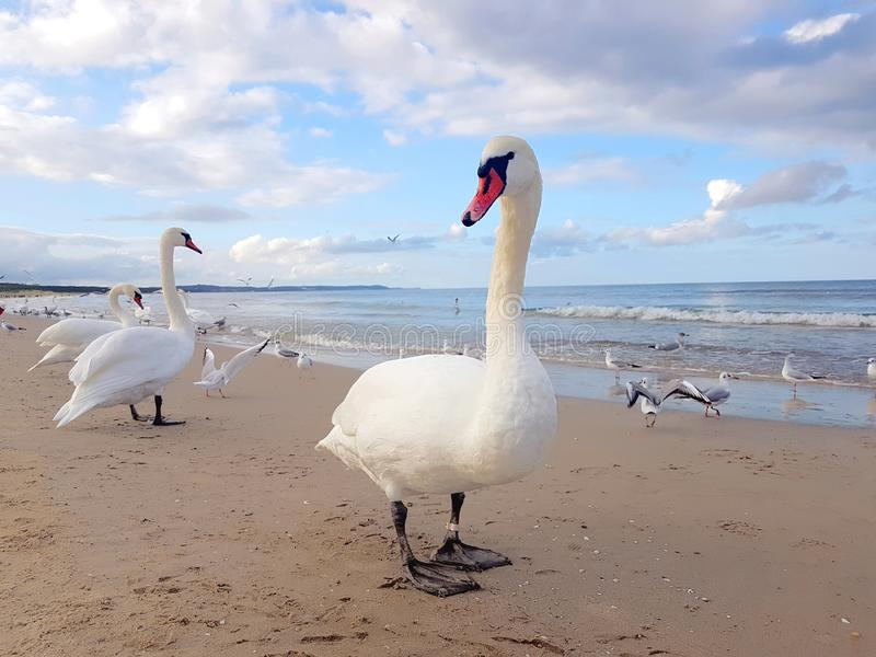 Cygnes, mouette et oiseaux traînant par la plage photographie stock libre de droits