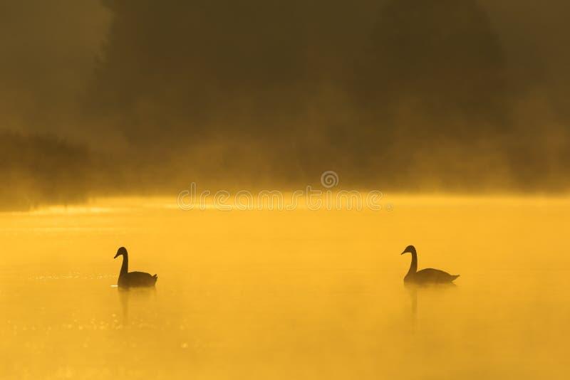 Cygnes muets en brume image libre de droits