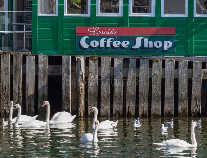 Cygnes muets nageant au-dessous d'un café situé sur un pilier dans le lac Windermere photo stock