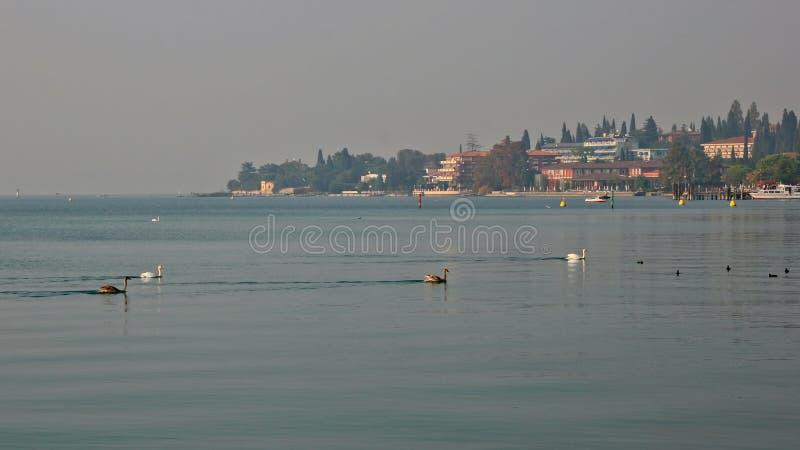 Cygnes nageant à travers le policier de lac photo libre de droits
