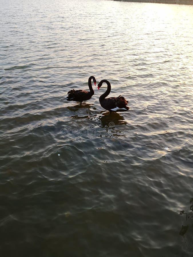 Cygnes noirs dans l'amour, lac de mar?cage image stock