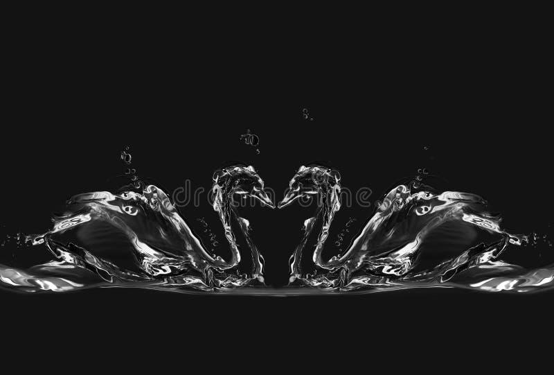 Cygnes noirs de l'eau dans l'amour photo stock