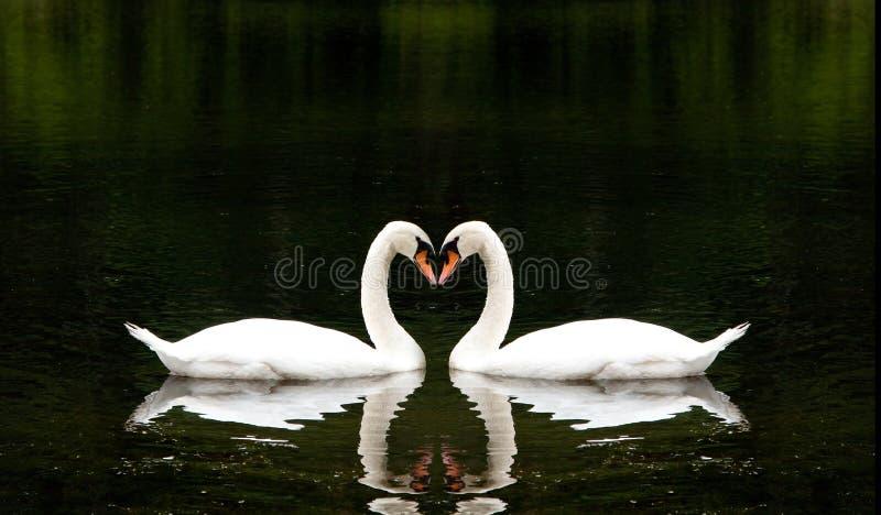 Cygnes romantiques image stock