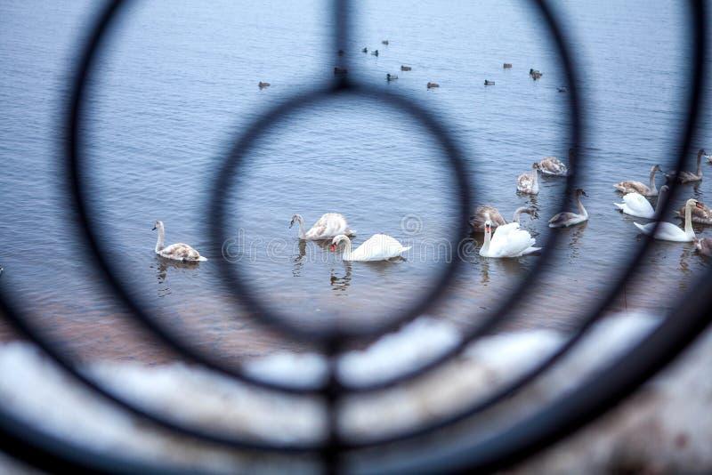 Cygnes sauvages dans une barrière forgée par cercle photo libre de droits
