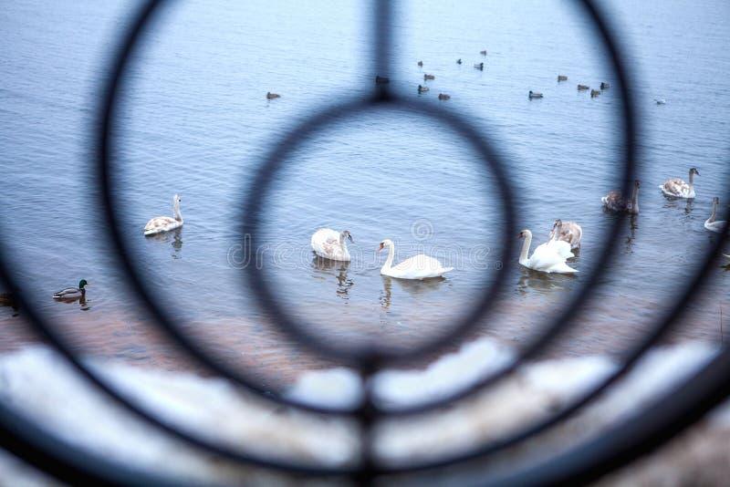 Cygnes sauvages dans une barrière forgée par cercle 2 photo stock