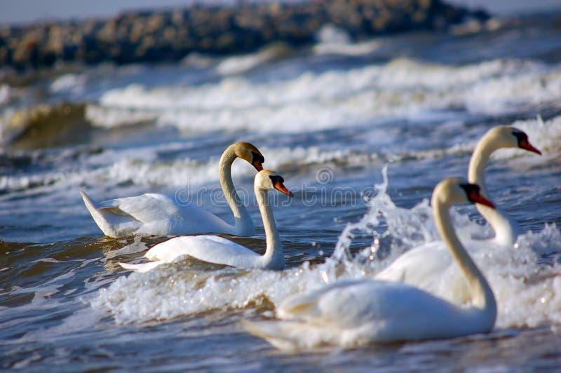 Cygnes sur la mer images libres de droits