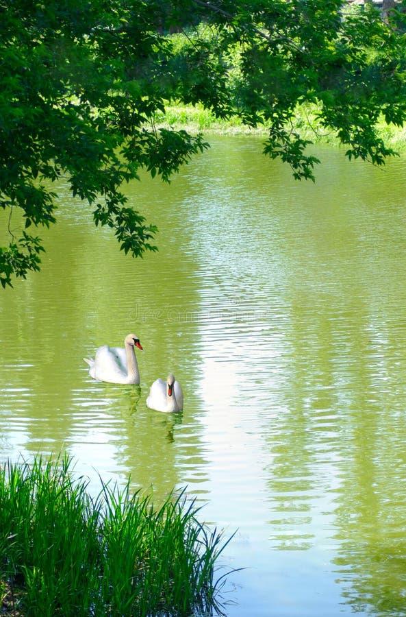 Cygnes sur le fleuve photos libres de droits