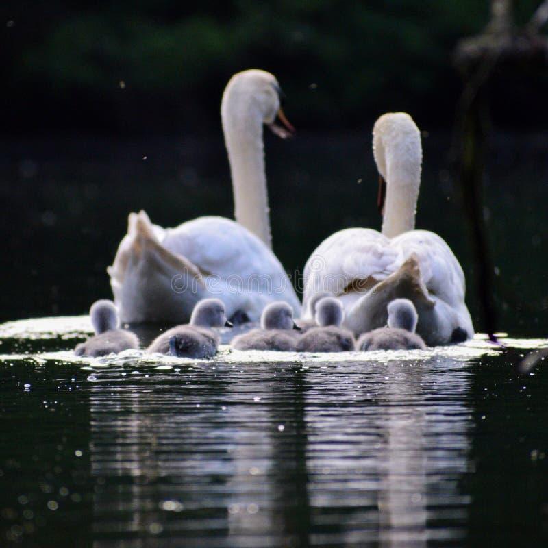 Cygnes sur le lac photo stock