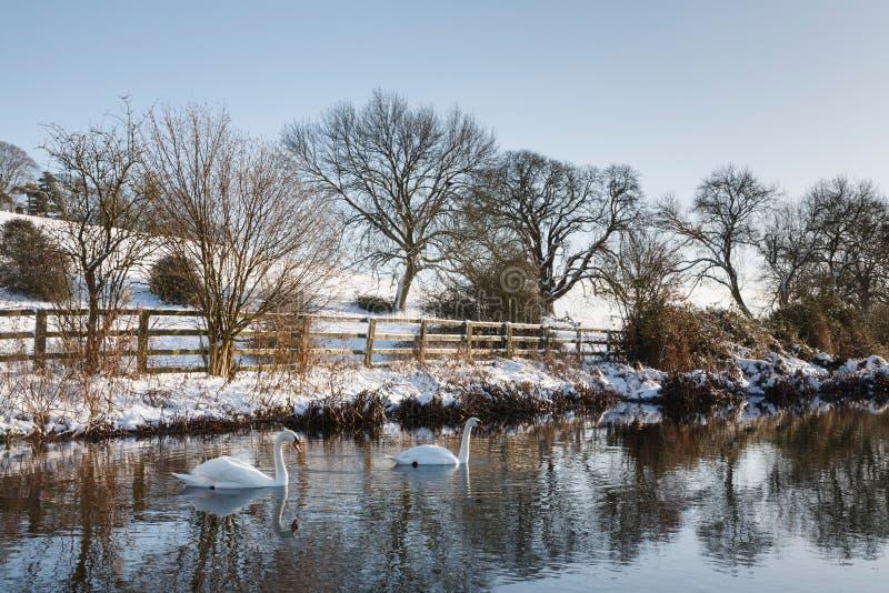 Cygnes sur une rivière en hiver image stock