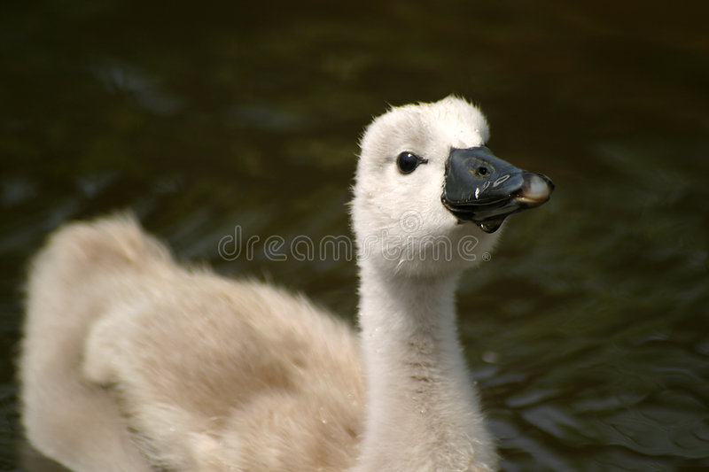 Cygnet. A cute cygnet royalty free stock photo